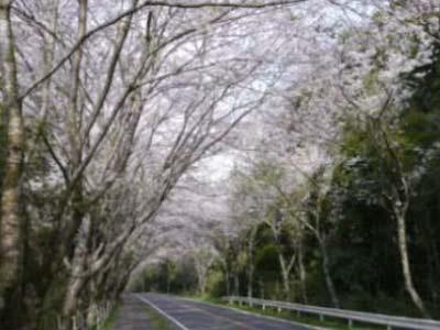 多古町八田桜通り